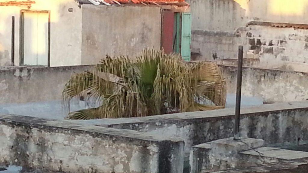 Foto de la palmera el pasado mes de mayo, con las hojas secas. Síntoma de la intoxicación.
